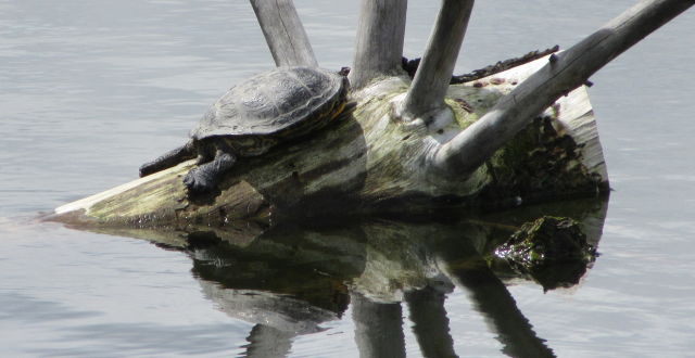 Picture of a turtle on a log